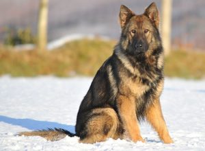 Trained Family Protection Dog (Sold) - Tyson