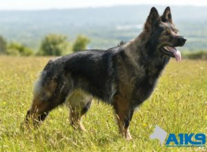Trained Family Protection Dog (Sold) - Vicky