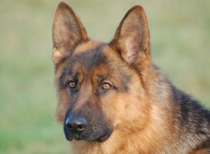 Trained Family Protection Dog (Sold) - Videx Dekka