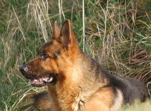 Trained Family Protection Dog (Sold) - Videx Dekka