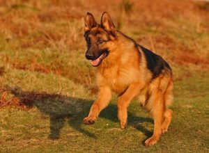 Trained Family Protection Dog (Sold) - Wilson