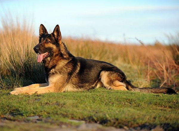 Trained Family Protection Dog (Sold) - Xero