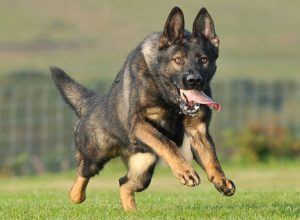 Trained Family Protection Dog (Sold) - Yargo