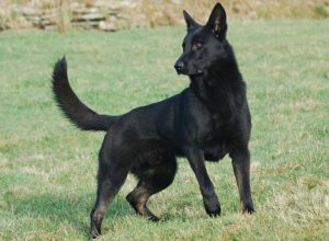 Trained Family Protection Dog (Sold) - Zaghe