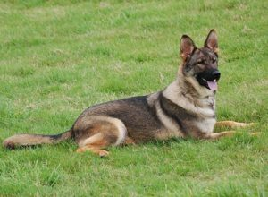Trained Family Protection Dog (Sold) - Zara