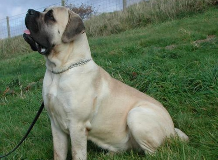 Trained Family Protection Dog (Sold) - Zeb