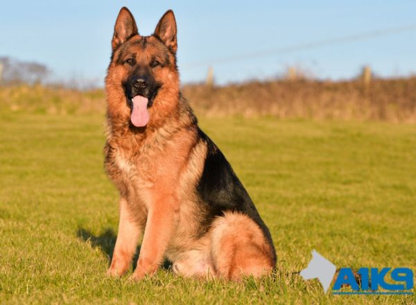 Trained Family Protection Dog (Sold) - Zemo