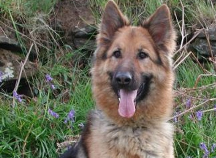 Trained Family Protection Dog (Sold) - Zena