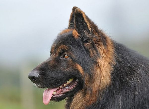 Previously Sold Dogs - Zeus