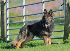 Trained Family Protection Dog (Sold) - Ziggy