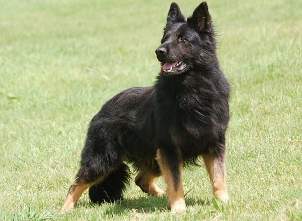 Previously Sold Dogs - Zues