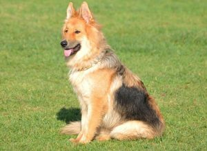 Trained Family Protection Dog (Sold) - Zues