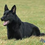 Trained Dogs For Sale - Ben 5