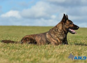 A1K9s Protection Dog Clay