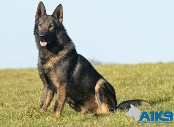 Trained Dogs For Sale - Nero