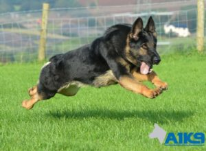 A1K9s Protection Dog Ola