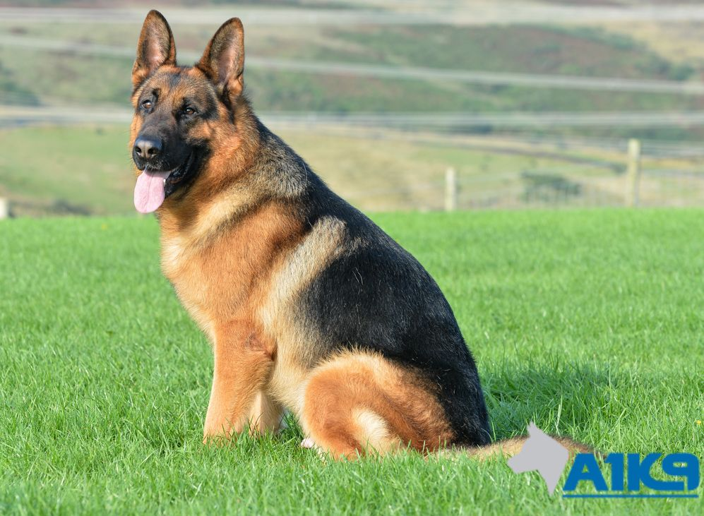 Trained Dogs For Sale Quick A1k9 Family Protection Dogs