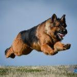 A1K9s Protection Dog Nash