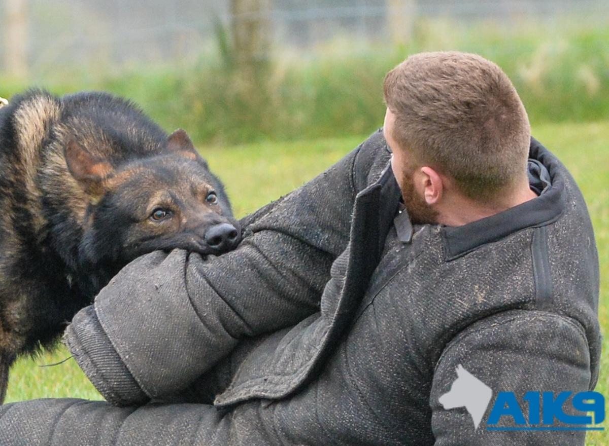 A1K9 Family Protection Dog Gabe protection training 0352