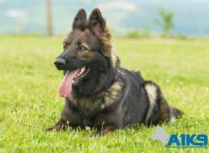 Zara Zara A1K9 family protection dog down 3920