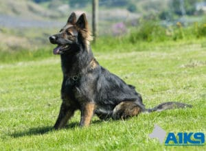 Zara A1K9 family protection dog sit 3587