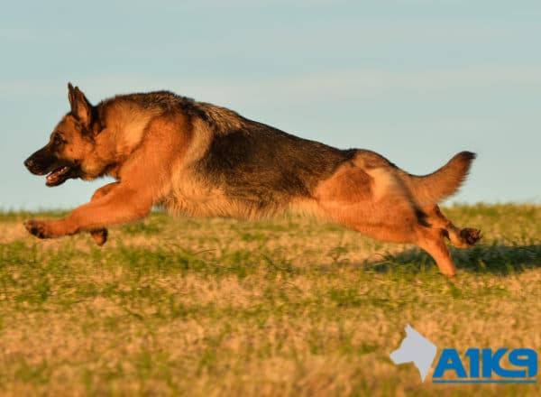 Family Protection Dog Mercy at A1K9 Running