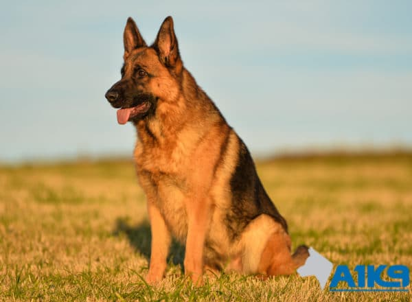 Family Protection Dog Mercy at A1K9 Sit