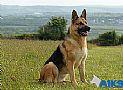 A1K9s Protection Dog Gemma Sit