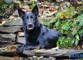 A1K9s Protection Dog Jana Down