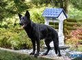 A1K9s Protection Dog Jana