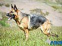 A1K9s Protection Dog Jessie