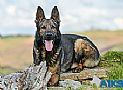A1K9s Protection Dog Larry Down