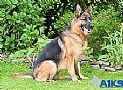 A1K9s Protection Dog Shakira