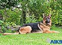 A1K9s Protection Dog Shakira Down