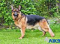 A1K9s Protection Dog Shakira Standing