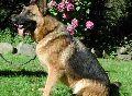 A1K9s Protection Dog Stella