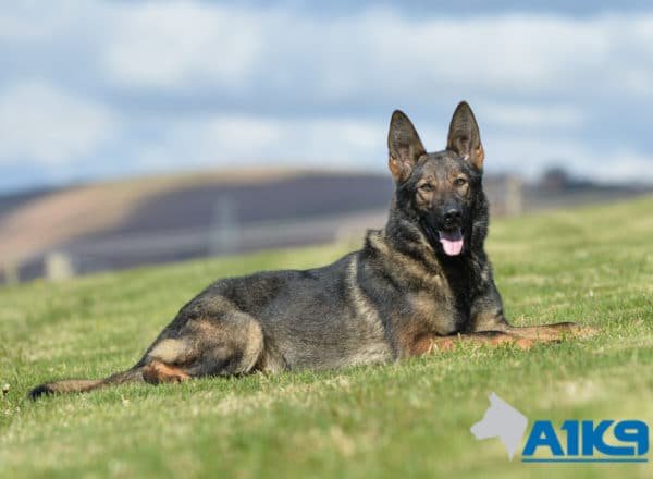 A1K9 Family Protection Dog Bessy Laying Down