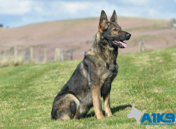A1K9 Family Protection Dog Bessy Sit