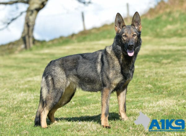 A1K9 Family Protection Dog Bessy Standing
