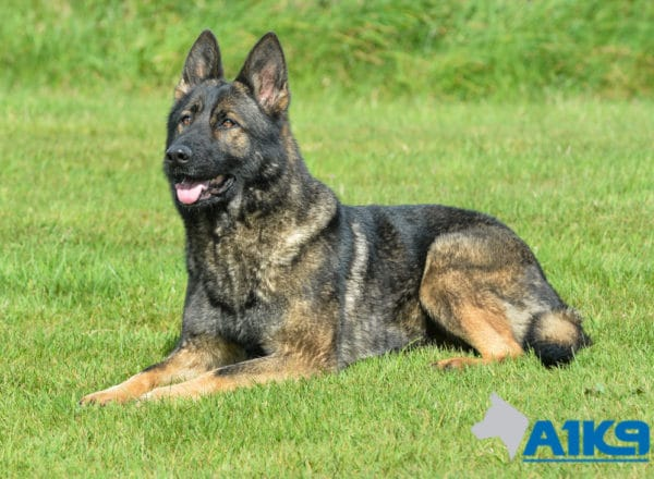 A1K9 Family Protection Dog Certi Down