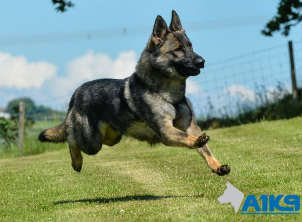 A1K9 Family Protection Dog Certi Running