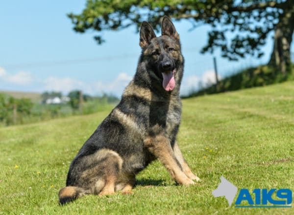 A1K9 Family Protection Dog Certi Sitting