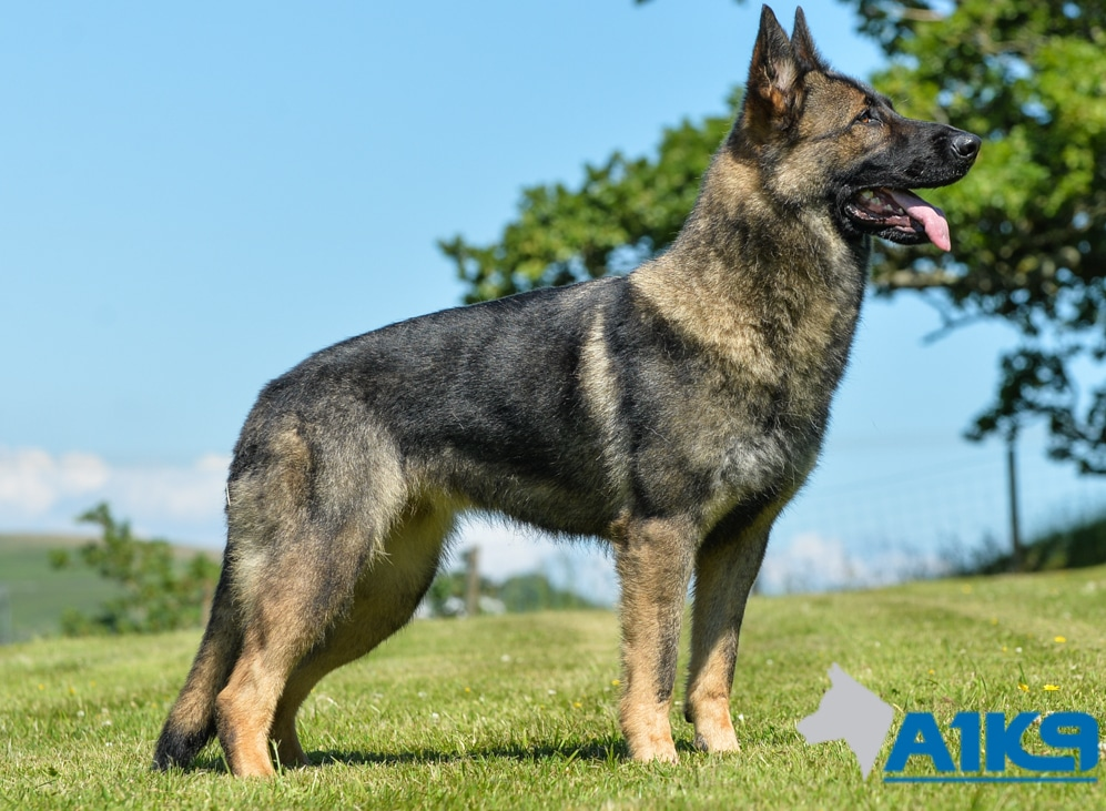 Trained Family Protection Dog Sold Certi A1k9