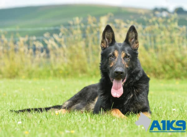 A1K9 Family Protection Dog Griff Down