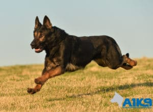 A1K9 Family Protection Dog Griff Run