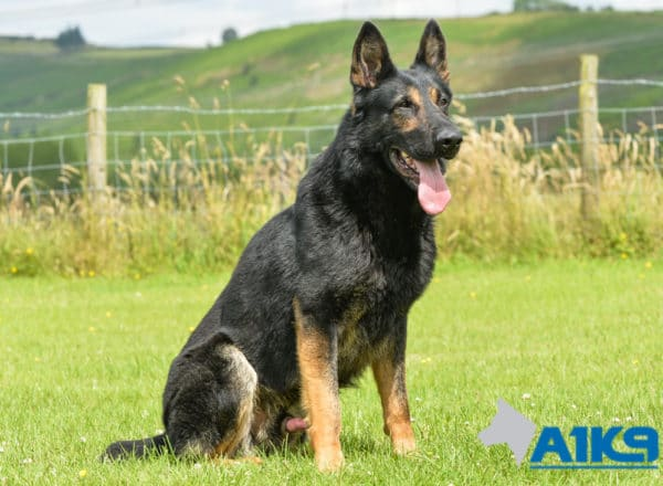 A1K9 Family Protection Dog Griff Sit Stay