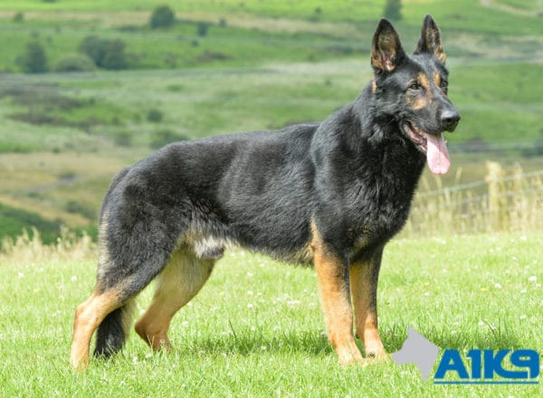 A1K9 Family Protection Dog Griff Standing