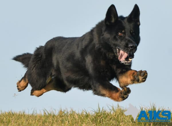 A1K9 prorection dog Abe running 1104