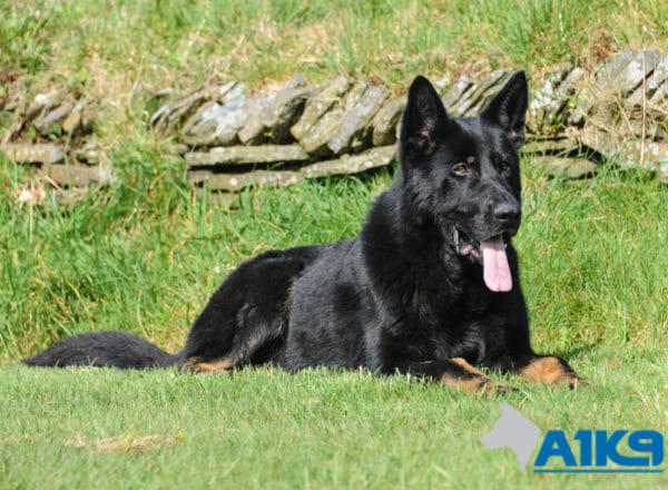 A1K9 protection dog Abe Down 2459
