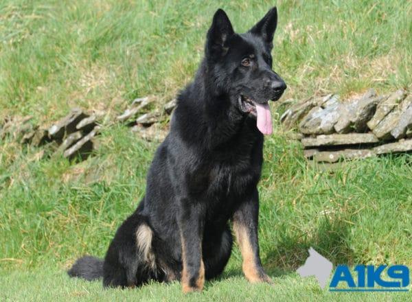 A1K9 protection dog Abe Sit 2466